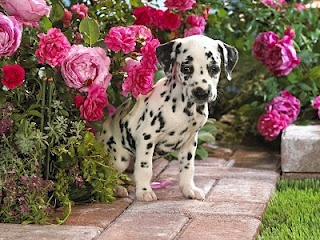 puppy and peonies