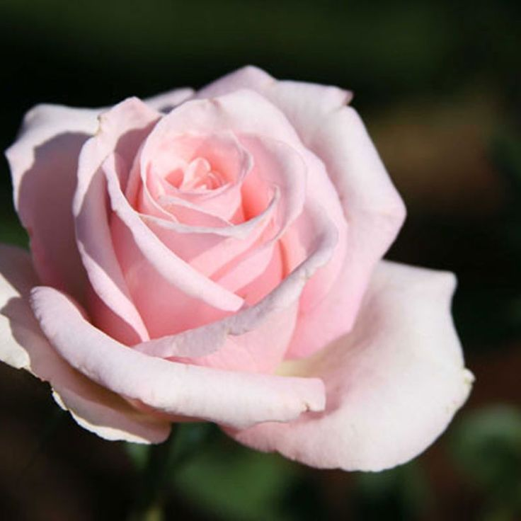 Bride S Dream Bred From The Classic Hybrid Tea Rose