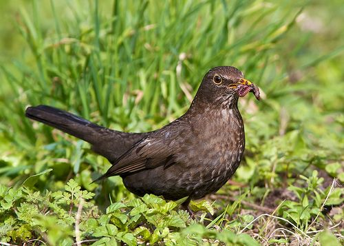 Female Blackbird - Quite a Mouthful**
