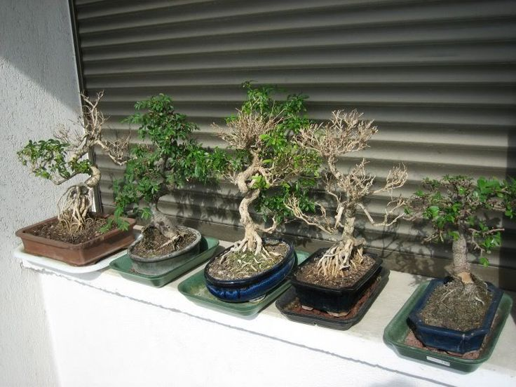 Jardin de bonsai bonsai pinterest bonsai for Bonsai de jardin