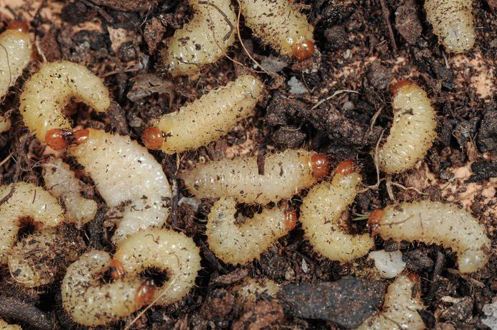 Dickmaulrussler Erfolgreich Bandigen Unkraut Im Garten