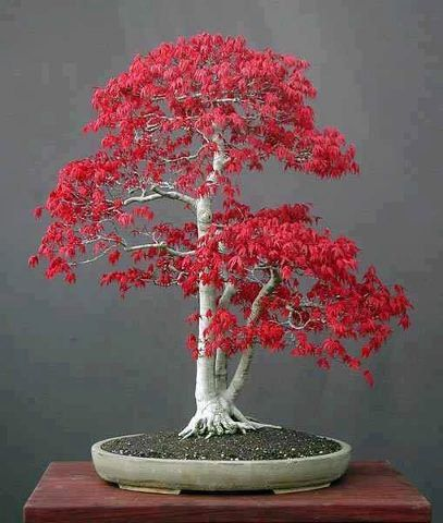 Bonsai Japanese Red Maple Bonsai Tree Seeds Grow by CheapSeeds