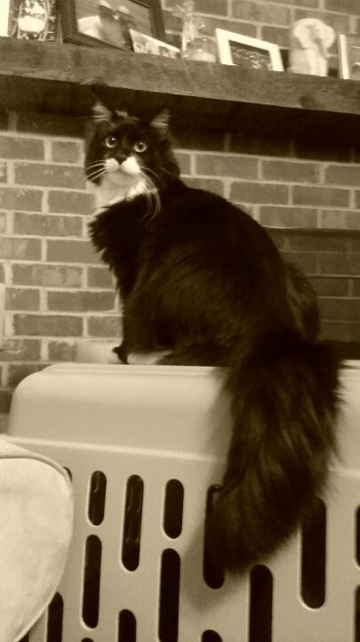 Mr. Cash, tuxedo cat