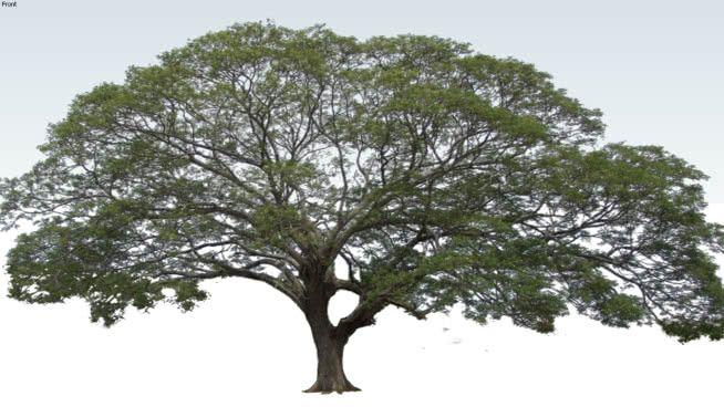 Tree 2d Albizia Saman 3d Warehouse Trees To Plant Umbrella Tree Tropical Tree