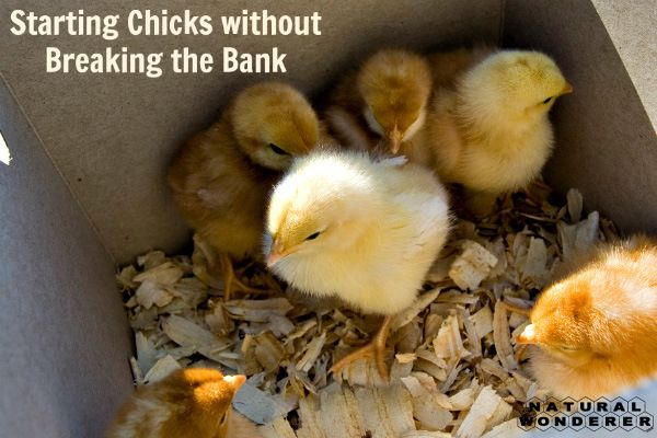 Starting Chicks at Home without Breaking the Bank - Natural Wonderer