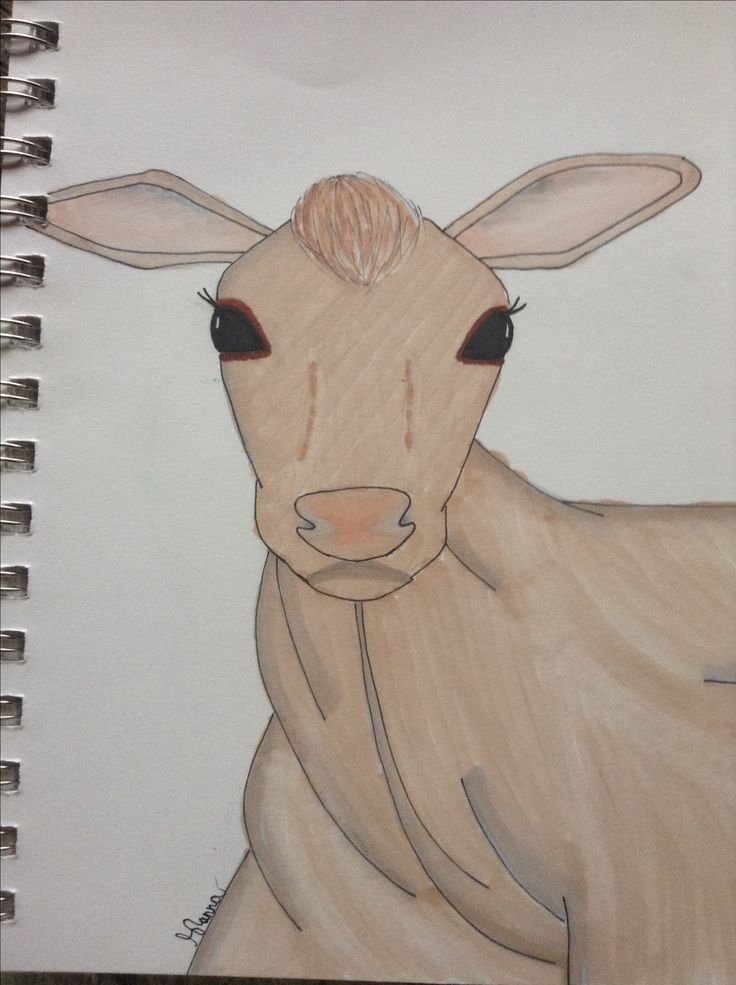 Calf drawing