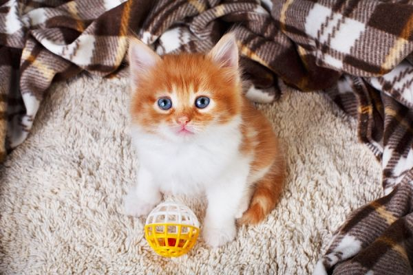 Signs Your Kitten Is Having a Medical Emergency: Most new kittens adjust to their new homes without any issues, but as a new pet parent, it is important to know the signs of a health crisis, so you can get emergency vet care when you need it.