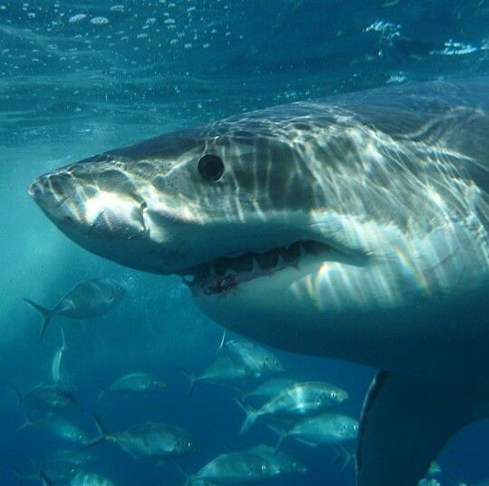 The great white shark! If you look closely at this great white eye you can see they are not solid black but they do have a blue iris.