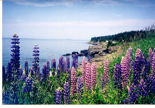 Lupins Scott's Bay, Nova Scotia SO allergic to these stinky things, but they sure do look like home!