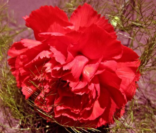 Carnation Grenadin Scarlet Seeds - Dianthus Caryophyllus