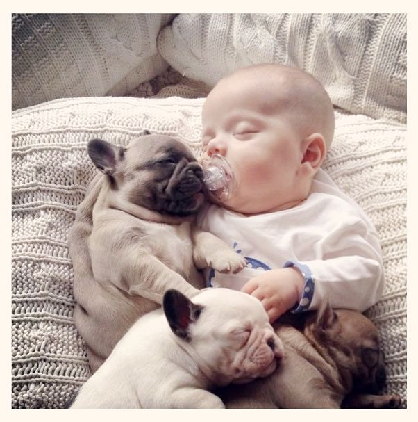 Best French Bulldog Puppies Images On Pinterest Cats Dogs - Ivette ivens baby bulldog