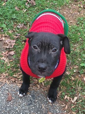 American Pit Bull Terrier dog for Adoption in Richmond, VA. ADN-753321 on PuppyFinder.com Gender: Female. Age: Young #PitBull