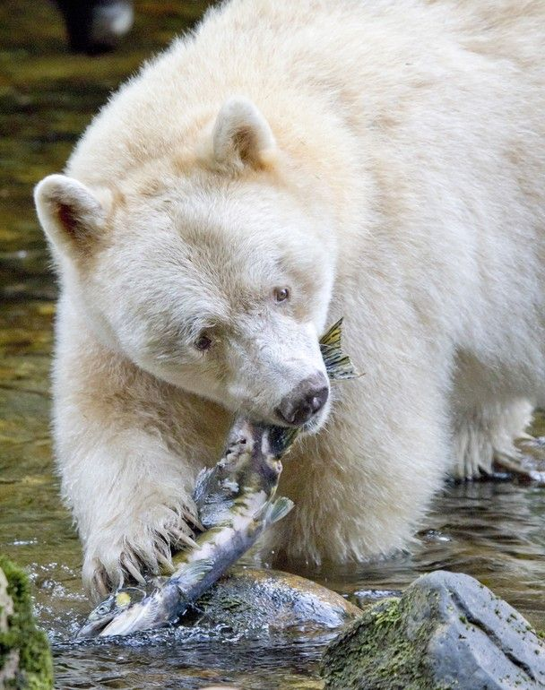 spirit bear, a leucistic coastal brown bear (note that albinism causes a lack of coloration in the nose, skin & eyes as well, leucism denotes only partial color loss)