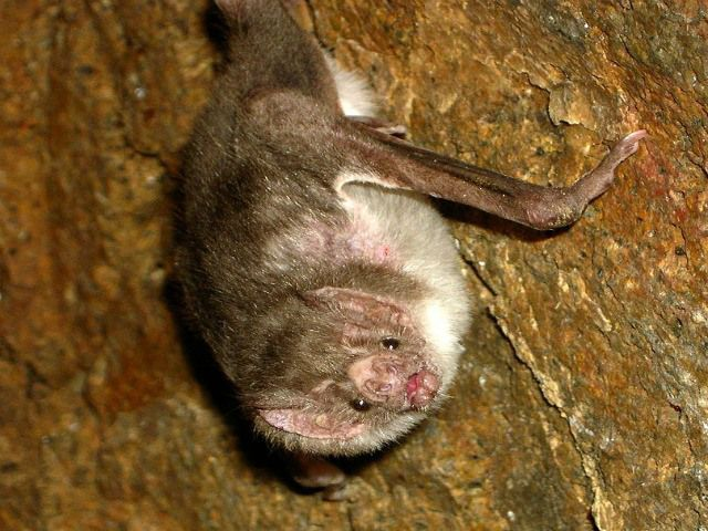 Are vampires real? What is a vampire bat? Vampire Bat Facts – Questions And Answers!