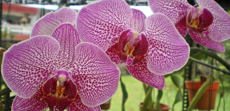 Cum sa ai grija de orhideele din ghiveci – ghid pentru iubitorii de frumos