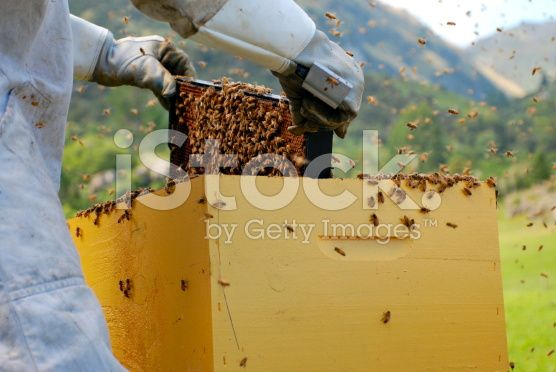 Beekeeper removes Honey Frame from Beehive royalty-free stock photo