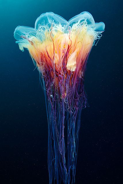 Cyanea capillata by Alexander Semenov on Flickr.