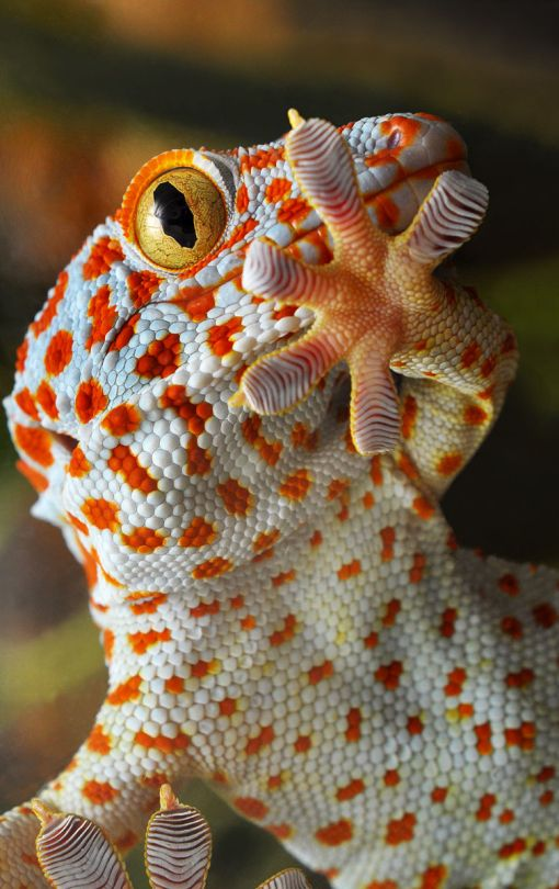 """Tokay Gecko - they are beautiful, they change colors, they can jump and climb your walls and hide on your ceiling, they have razor sharp teeth and will bite a huge chunk out of your arm if you get near it. They chirp like birds when mating and growl like the girl from the movie """"The Ring"""" when angry. Very difficult reptile to have as a pet but worth it if you like lizards. Make sure you get two so they chirp at each other. NOT FOR CHILDREN! RIP my little buddy =("""