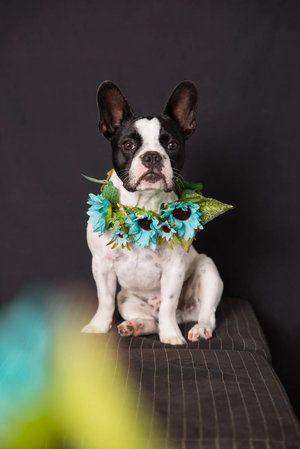 Dog Photography Auckland Flower Wreath Photo With Dog Makeover