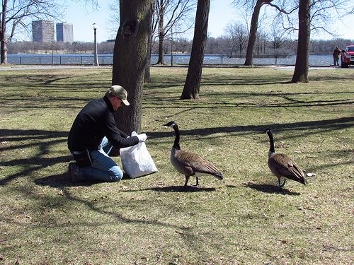 Quality control inspection by the Canada Geese