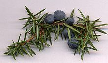 Juniper (Juniperus communis) is a coniferous plant, though its cones remind of blueberries and are used to flavour certain beers and gin and other alcoholic drinks. http://en.wikipedia.org/wiki/Juniperus_communis