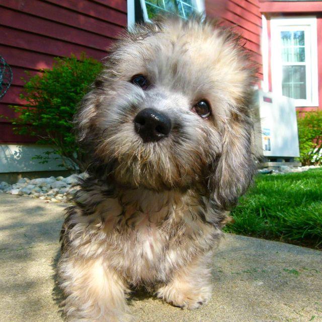 Millie :) Dandie Dinmont Terrier 4 months old