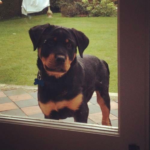 El fin de semana me voy del Pais y lastimosamente aunque me parta el corazon debo regalar mis bebes el primero Rottweiler se llama Jake tiene 7 meses, La cachorra Rottweiler tiene casi dos m...