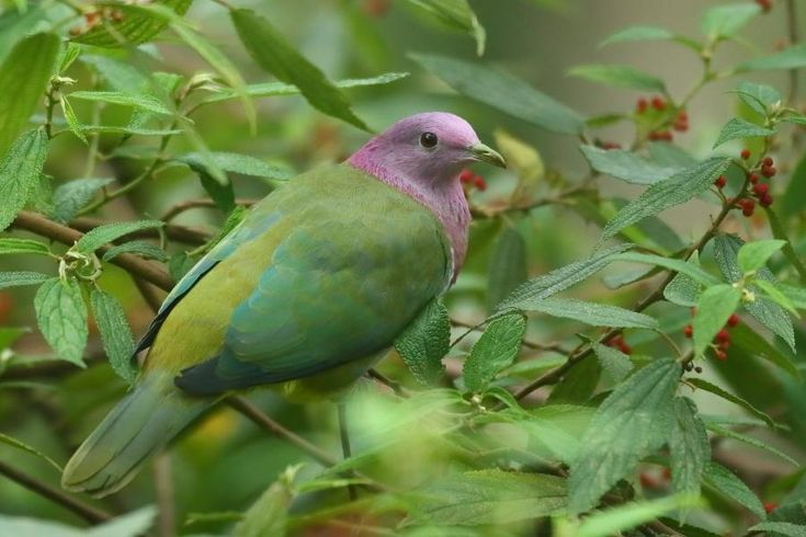 Pink-headed Fruit-dove (Ptilinopus porphyreus) Female at fruiting tree | the Internet Bird Collection | HBW Alive