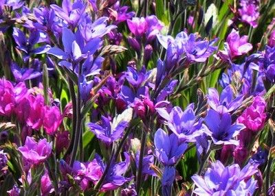 Babiana 'Fragrant Fusion Mix' from an affordable source. South African baboon flower.