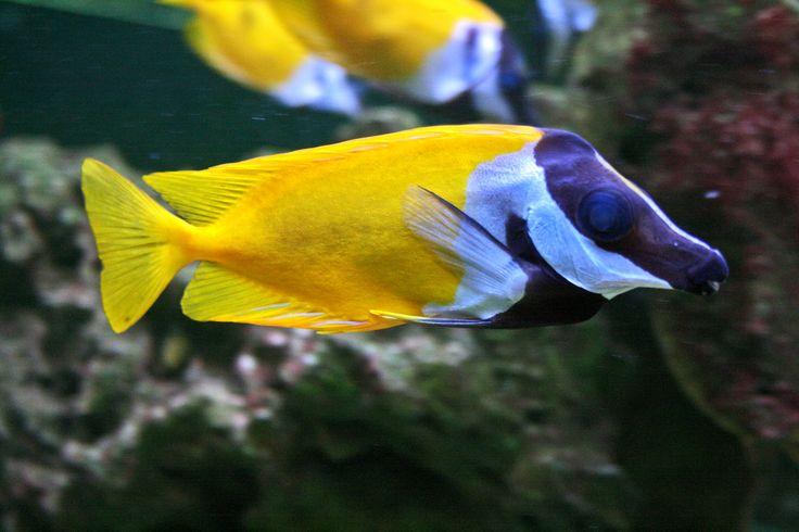 Cá mặt cáo - Foxface rabbitfish