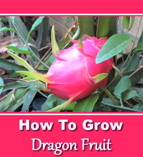 How To Grow Dragon Fruit - in your own garden... #homesteading #gardening