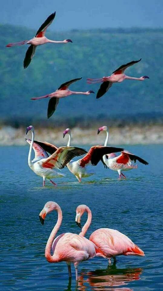 I love flamingos! They can be found in South and Central America but also in Italy, Africa, United Arab Emirates (Dubai)!!