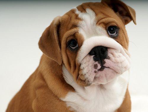 bulldog puppy please mommy<3
