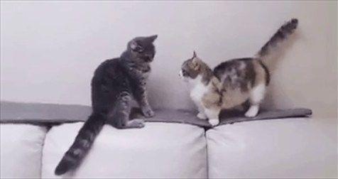 ごめん笑った!足の短いマンチカンと普通のネコが戦った結果…(笑)