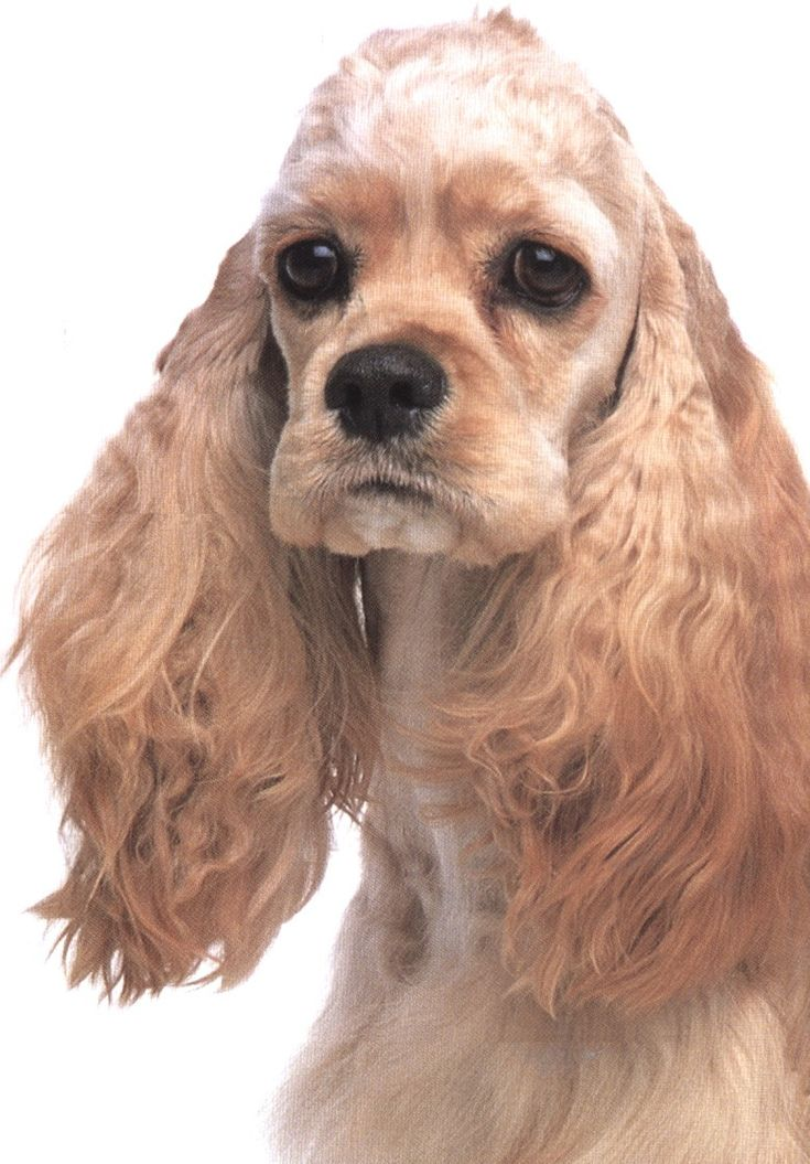 American Cocker Spaniel- this reminds me of my first pet my Dad bought for me, a cocker spaniel named Sugar.