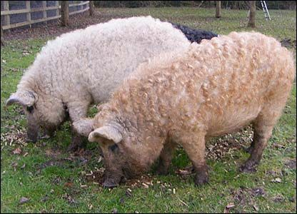 Mangalitza pigs.  Unimproved lard-type pigs from Hungary that grow wooly hair.