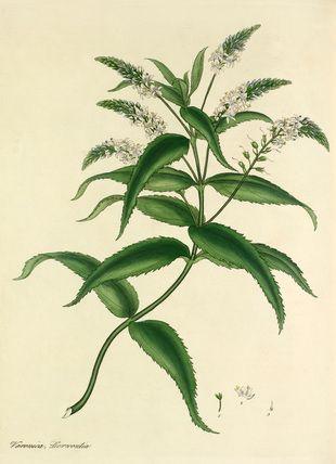 'Veronica derwentia' -- Fruit, Vegetables and Herbs -- RHS Prints