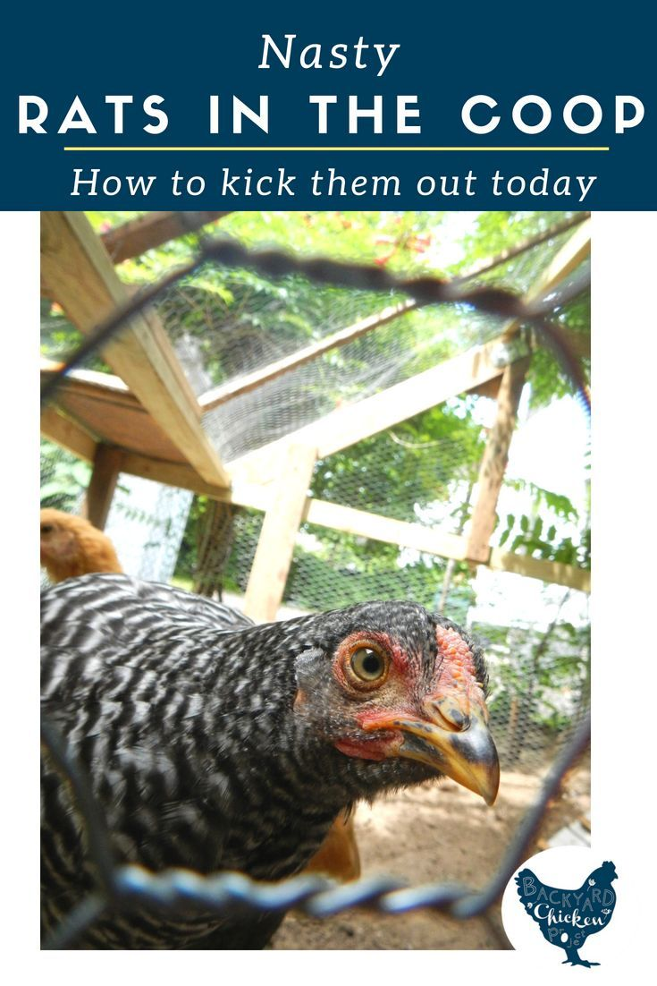The Best Way to Get Rid of Rats in Your Chicken Coop ...