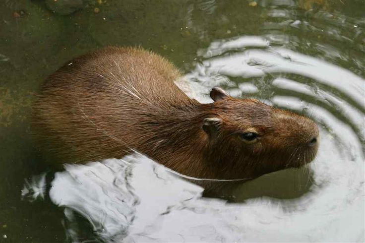 177 best images about Capybara on Pinterest | Popsicles ...