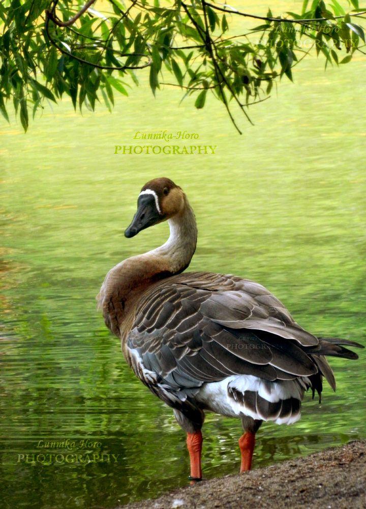 Goose by Lunnika-Horo.deviantart.com on @DeviantArt