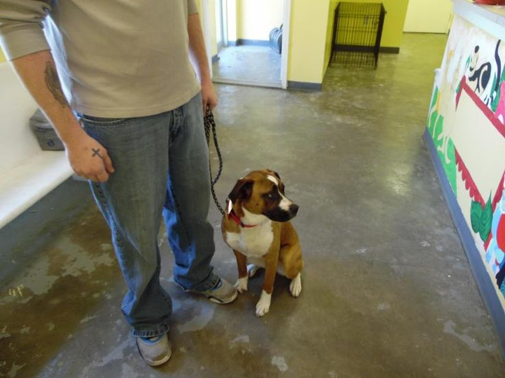 Meet POLLY, a Petfinder adoptable Boxer Dog | Summersville, WV | Polly is 9 month old female Boxer mix. She is up to date on her vaccinations