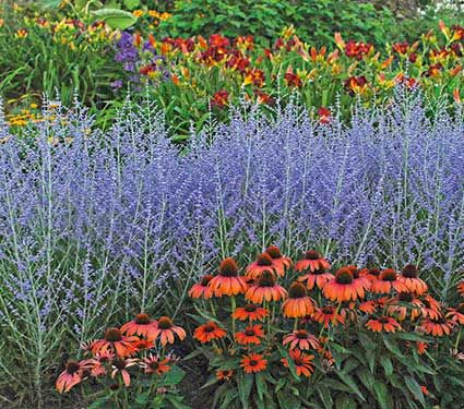 """Russian Sage """"Peek a Blue""""- This new variety is a compact form growing just 2 feet tall.  Gorgeous with this new variety of melon colored coneflower. The Garden Glove"""