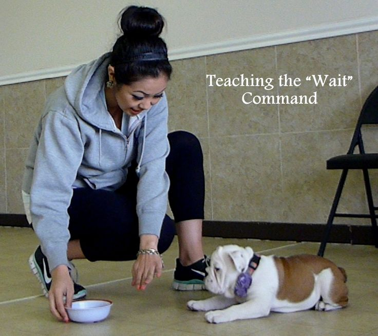 Bulldog Puppy Training Tips Video
