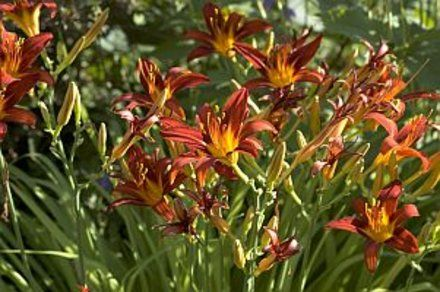 How to Split Daylilies   Garden Guides