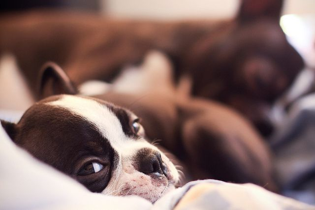 @mands Boston Terrier on Flickr <3 #BostonTerrier