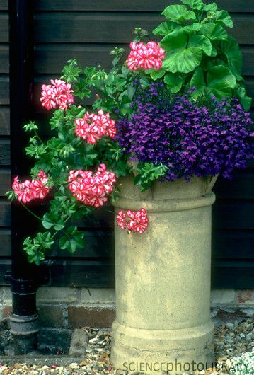 Chimney Pot Planter - Geraniums (Pelargonium cv.) and Lobelia in a recycled chimney pot used as a planter.