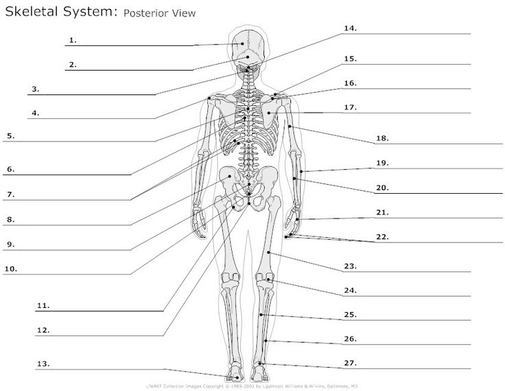 cell wall diagram unlabeled bones body diagram unlabeled