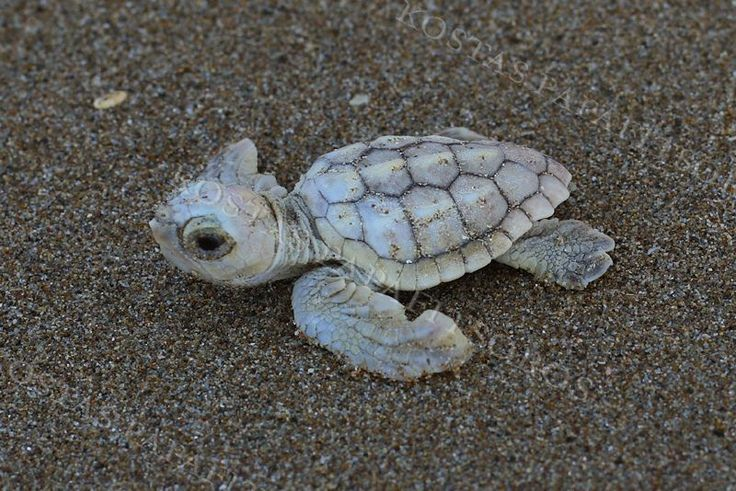 Loggerhead Turtle | Sea Turtles | Species | WWF