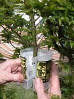 Acodo aéreo en árboles