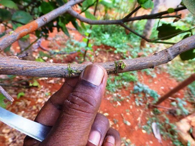 Περιπλανώμενος: Πολλαπλασιασμός λεμονιάς, εσπεριδοειδών χωρίς σπόρους